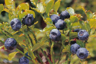 bilberry_fruits